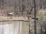Eland, Sable & Roan antelope, Liwonde