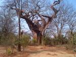 Leprosy Baobab