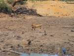 Dead Pumba in lion's mouth, Dateema