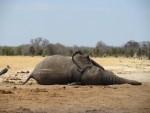 Elephant carcass, Zimbabwe
