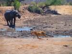 Lion and elephant standoff, Dateema