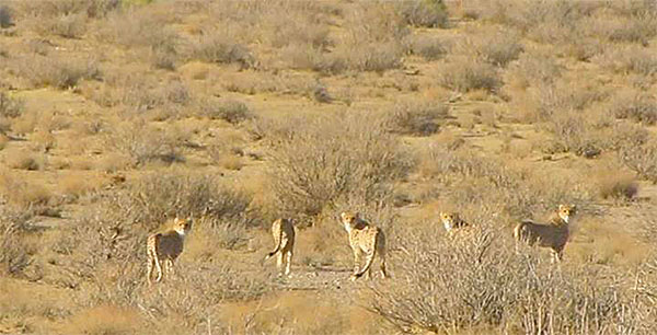 Five Asiatic cheetahs in Khar Turan NP, Iran