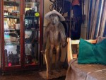 Bizarre stuffed baboon at the Seeheim Hotel