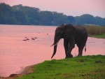 Liwonde elephant at sunset on the Shire
