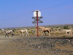 Wild Horses of the Namib?